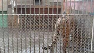 多摩動物公園アムールトラ_リングとシズカ吠える thumbnail