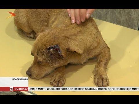 Владикавказские ветеринары прооперировали изувеченную собаку