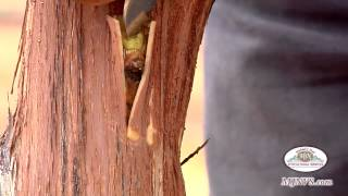 Bud Grafting Grapevines in the Napa Valley