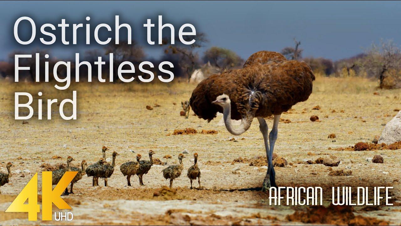 4K African Wildlife - Ostrich the Flightless Bird - Nature Wildlife Video