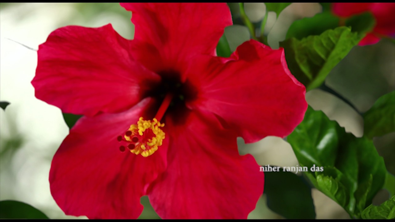 4 Different Type Hibiscus Flowers Blooming Time Lapse Film Youtube