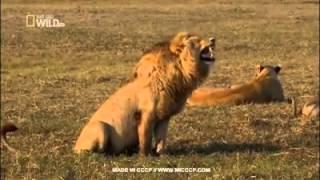 Самый крутой лев :D