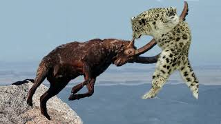 Mountain Goat Tossing Snow Leopard Falls Down From Cliff To Escape - Even The Mighty Can Falter