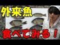泥沼で釣った外来魚を食べたらヤバかった・・・
