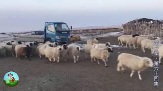 """【原创】牧区什么样的羊会有这么好的待遇?!还住""""小雅间""""? 【印象草原..."""