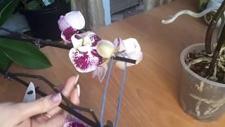 РЕАНИМАЦИЯ ОРХИДЕЙ, орхидея без корней, как посадить.
