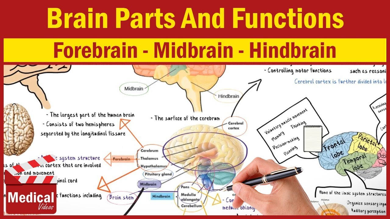 CNS INTRO  Brain Parts And Functions [ Forebrain ...