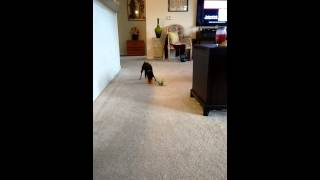 10 Year Old Miniature Pinscher Playing With Toys