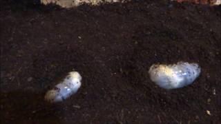 カブトムシの幼虫が腐葉土にもぐっていく様子です。意外に速いスピード...