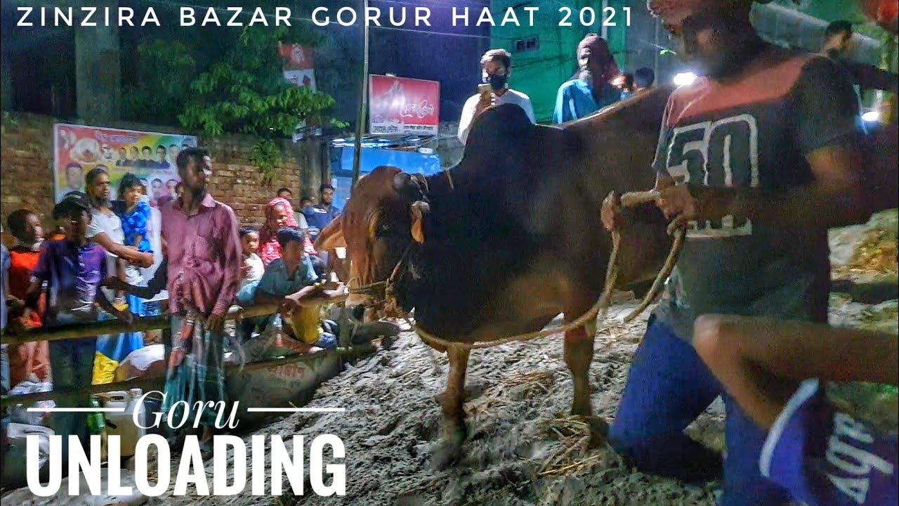 Deshal Goru Unloading From Truck | Goru Unloading Time At Zinzira Bazar Haat 2021 | Dhaka Cow Mania