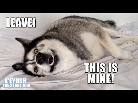 My Husky WONT Get Off My Bed! He Argues With Me!