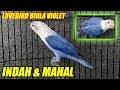 Love Bird Biola Violet Mahal Suara Gacor Keras Dan Merdu  Mp3 - Mp4 Download