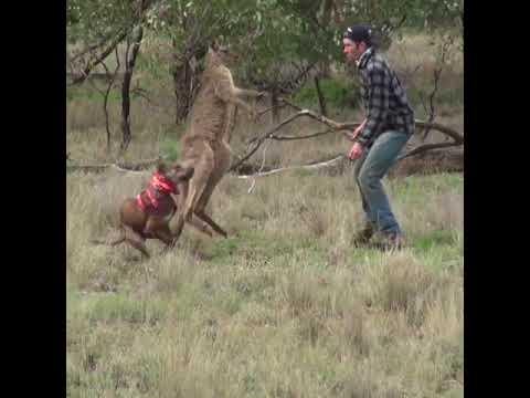 Cool Beans - Man Saves Dog from a Kangaroo