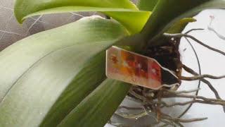 ❤🏡Орхидея Фаленопсис.Правильный уход и полив(Советы по уходу В этом видео я делюсь своим опытом об уходе за орхидеей., 2015-12-01T18:20:26.000Z)