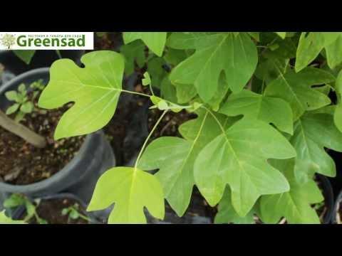Тюльпановое дерево (Лириодендрон тюльпановый) - видео-обзор от Greensad