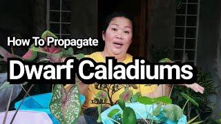 Ho To Propagate Dwarf Caladium By Lola Malyn Ang Tinderang Hardinera