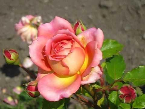 Роза Джубили Селебрейшин / Jubilee Celebration. 2016