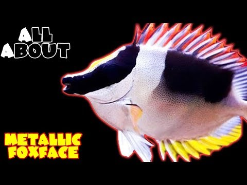 All About The Metallic Foxface Or Magnificent Foxface Or Rabbitfish
