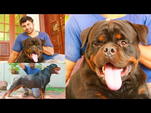 Rottweiler dog   Timit Tor   Gizmo and Grom