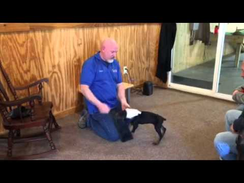 """Doberman Puppy Male """"Jet"""" 8 Weeks Old Build A Beast Candidate Advanced Training Candidate"""
