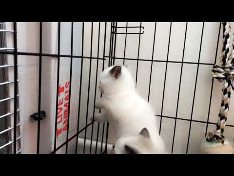 British Shorthair kitten Champion Line GCCF Reg And Active - £650 each