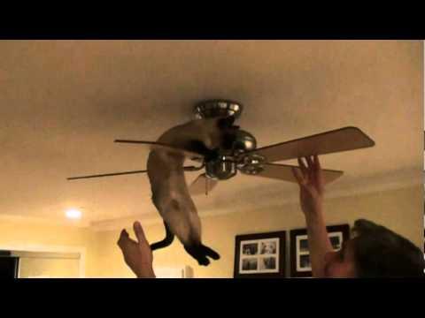 Crazy Tonkinese Cat Tricks