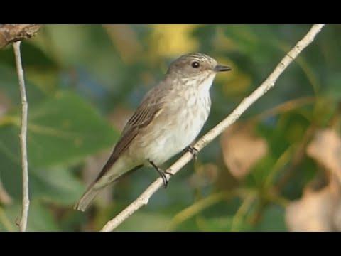 Ptice Hrvatske - Siva muharica (Muscicapa striata) (Birds of Croatia - Spotted Flycatcher) (1/2)