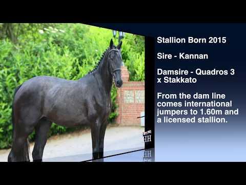 Kannan x Quadros x Stakkato Stallion Born 2015