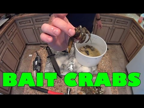 Preparing Blue Crabs And Hermit Crabs For Black Drum And Redfish