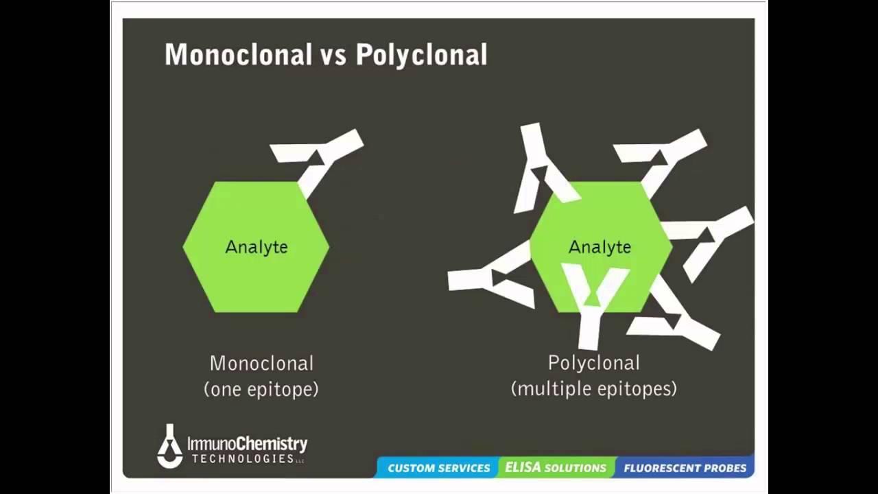 monoclonal vs polyclonal antibodies pdf