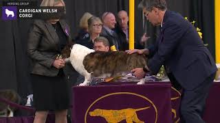 Cardigan Welsh Corgi | Breed Judging 2020