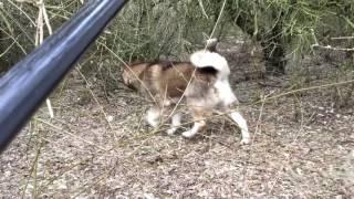 Работа ЗАПАДНО СИБИРСКОЙ ЛАЙКИ по фазану / Облаивание на дереве