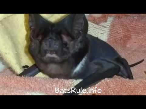 Rehab | Bat Microbat White-striped Freetail Bat in care