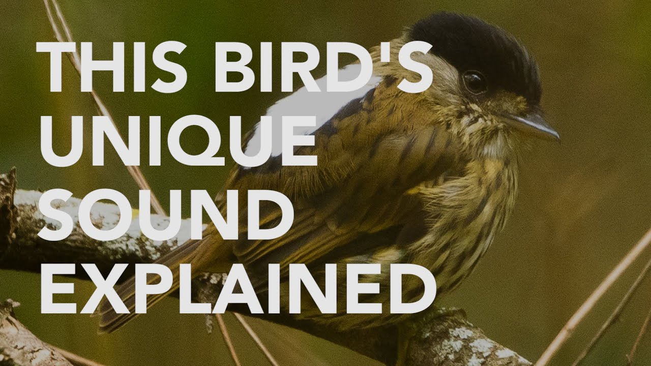These Birds Can Sing Using Only Their Feathers | Science