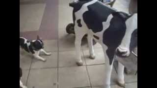 French Bulldog With A Cow. First Time Reaction