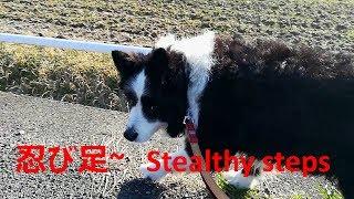 我が家の愛犬ハリーくんは熟女犬が苦手、散歩で彼女の前を通るときは忍...