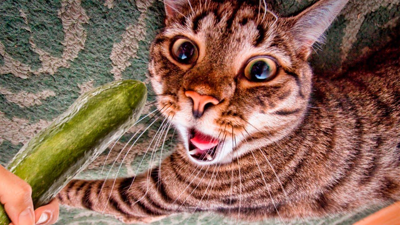 Youtube Cat Cucumber