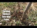 Gambar cover How to Turn a Suckering Peach Tree Into New Trees