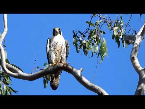 1 17 18 Peregrine Falcon