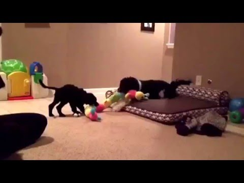 Yare Portuguese Water Dogs - Cora Fern Plays Tug with new Big Sis CiCi