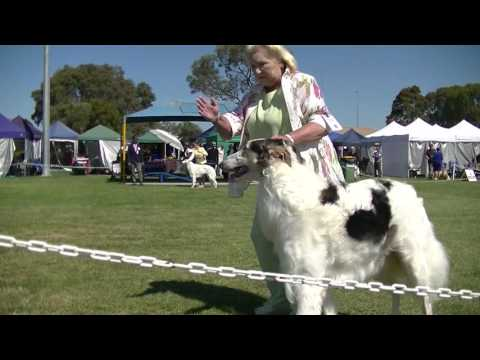 Dog show BORZOI in Melbourne on December 3rd 2016 F