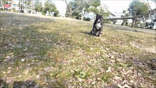 ピットブルの男の子。耳きり後、初めての公園へ。風も強いしかなりドキ...