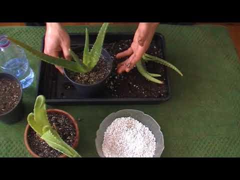 comment mettre en pot une jeune plante d 39 aloe vera youtube. Black Bedroom Furniture Sets. Home Design Ideas