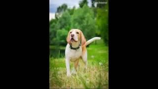 Песня про собаку