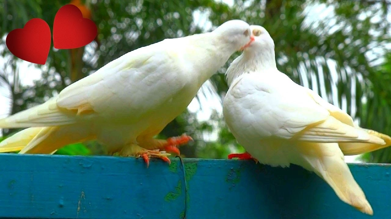 White Dove Passionate Love Deep Kissing Palomas Blancas Enamoradas
