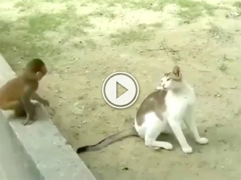 Baby monkey and cat become best friends — at least according to the monkey