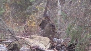 Huge 9 foot tall Bigfoot.  Incredible Sasquatch Photo