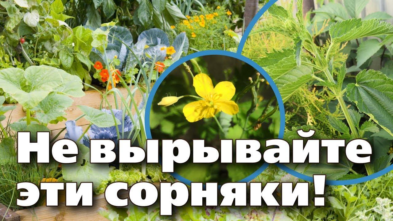 Эти 2 сорняка пригодятся для подкормок и обработок от вредителей. Вы удивитесь!