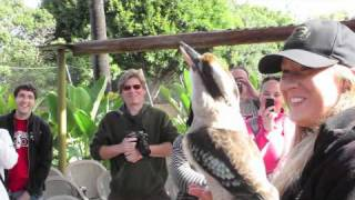 Crikey the kookaburra's Call