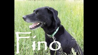 Fino - Labrador mâle - SPA du Roannais